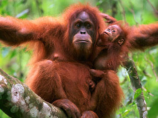 orangutan_with_baby