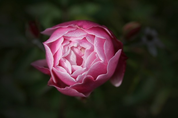rose-1082542_640